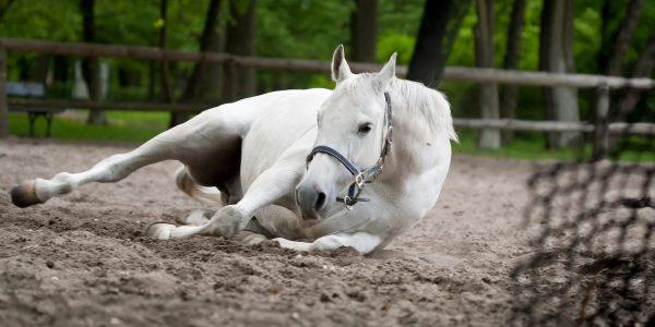 El caballo en estado doméstico